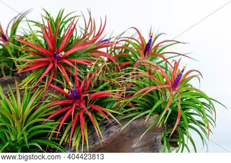 Air Plant - Tillandsia With Colorful Flowers Plants In Wooden Log On White Background.