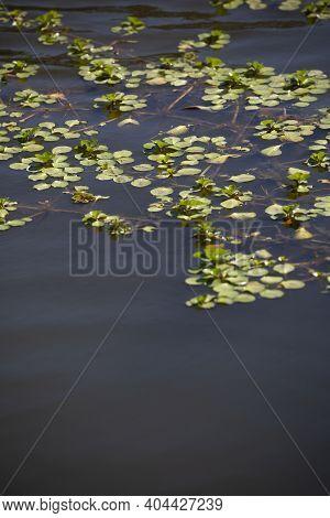 Salvinia Plant Choking Life At The Surface Of A Lake