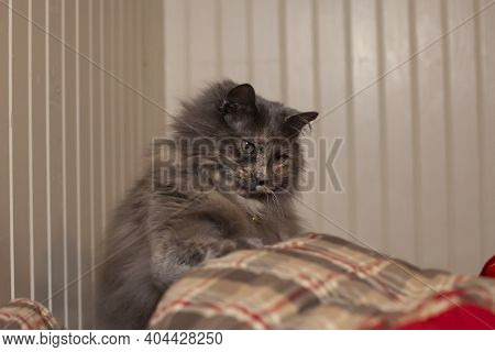 One Inquisitive Longhair, Grey Cat Playing Calmly Indoors