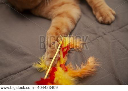 Close Up Of A Golden Cat's Paw As He Lazily Grabs A Toy