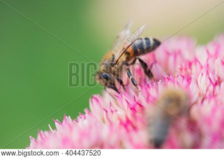 Honey bees collect pollen and nectar on Spiraea flower. Macro shot.