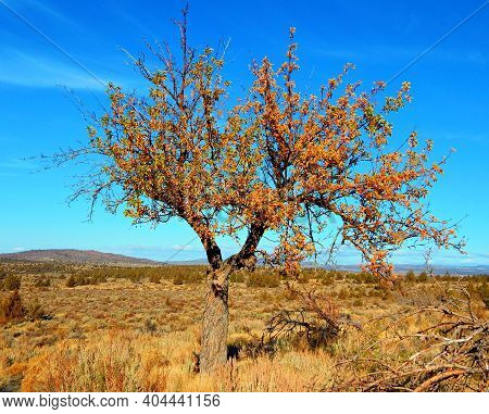 Autumn In The Old Orchard - An Apple Tree In An Abandoned Orchard At The Cyrus Homestead - Crooked R