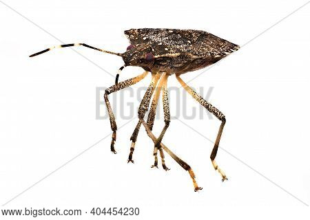 Bug Extreme Close Up, Studio Shot Of Vermin Isolated With White Background