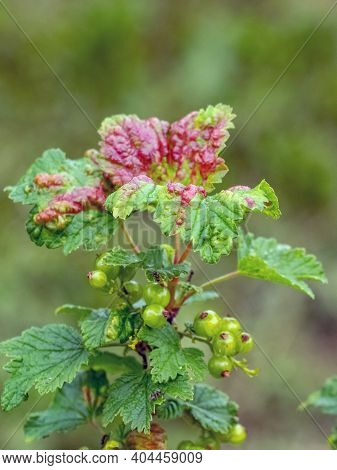 Red Spots On The Green Leaves Of Currants, Fungal Leaf Disease Or Red Gallic Aphid