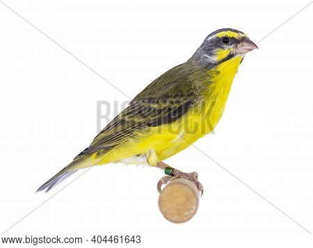 Yellow Fronted Canay Aka Crithagra Mozambica Bird. Isolated On A White Background. Sitting On Wooden