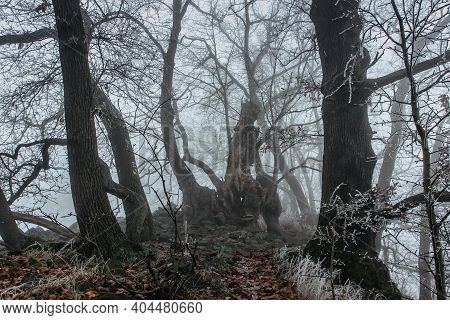 Magical Old Trees In Fog.amazing Misty Forest.fantasy Landscape With Foggy Forest, Morning Frost.fai