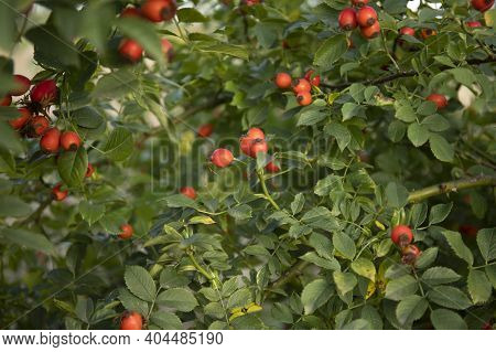 Red Berries Of Wild Hips Rose Rosa Canina In Autumn Close Up