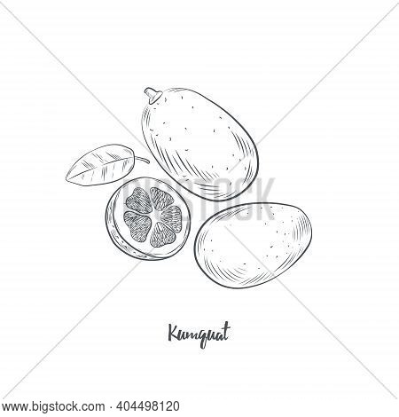 Kumquat Fruit Sketch Vector Illustration. Hand Drawn Kumquat Citrus Isolated On White Background.