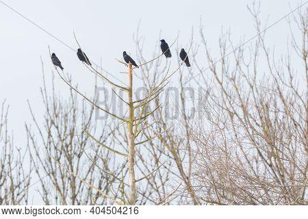 Five Black Carrion Crows (corvus Corone) Sitting On Dead Tree In Winter