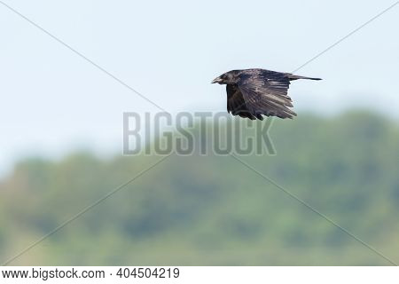 Black Carrion Crow Raven (corvus Corone) Flying In Front Of Green Forest