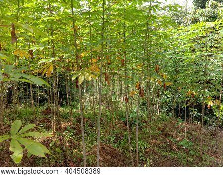 Cassava Manioc Tapioca Plantation Field, Traditional Gardening Farm Beside The Jungle In South East