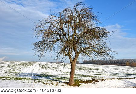 Alley Of Fruit Trees In An Alley By A Rural Road. New Asphalt And White Curb. In A Snow Field Flat F