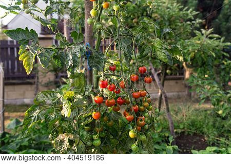 Branch Of Ripe And Green Cherry Tomatoes In A Garden. Tomato Plant In Vegetable Nursery. Tomato Bush