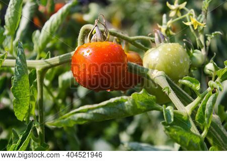 Tomato Plant's Branch With Flowers, Ripe And Green Cherry Tomatoes In A Garden. Tomato Plant In A Ga