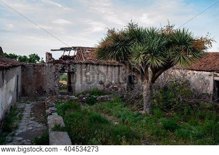 Dracaena Draco, The Canary Islands Dragon Tree Or Drago And Old House Ruins Near Roque En Taganana,
