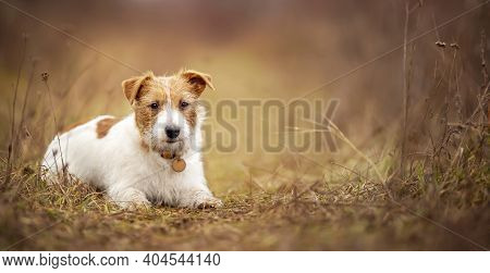 Cute Obedient Happy Jack Russell Terrier Dog Puppy Listening In The Grass. Pet Training Concept, Web