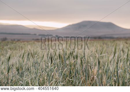 Field Of Grain In Autumn At Dawn. Dawn In The Autumn Field. Hills In The Morning Haze. Grass Covered