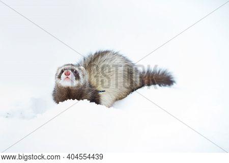 Ferret Female Outdoor In Fresh White Snow