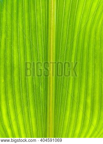 Close Up Detail Of Green Corn Leaf With Vertical Vein Pattern, Healthy Agricultural Plant, Organic F