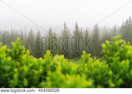 Mountain valley during foggy sunrise. Lush green blueberry bush on foggy meadow. Located place: Carpathians, Ukraine, Europe