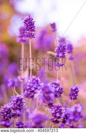 Close up of bunch of lavender flowers in blossom
