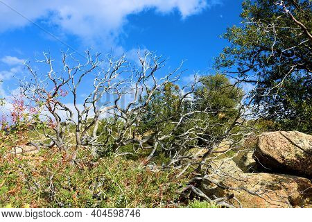 Chaparral Plants Besides Oak Trees On A Mountain Ridge At A Chaparral Woodland In The Rural High Des