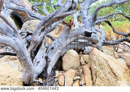 Twisted Branches On A Dead Chaparral Plant Caused From A Past Wildfire During A Prolonged Drought Ta