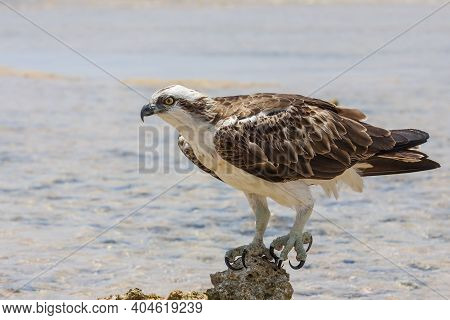 Pandion Haliaetus - White-tailed Eagle - Close-up Portrait. An Eagle Stands On A Stone In The Sea. W