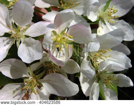 Malus Domestica Borkh. Flowers Of A Wild Apple Tree. Spring. Bloom. Garden, Sunny Spring.