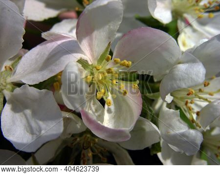 Malus Domestica Borkh. Flowers Of A Wild Apple Tree. Spring. Bloom. Garden,