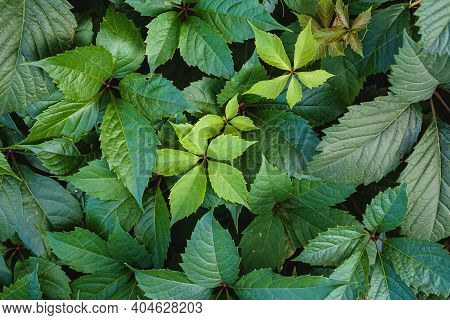 Green Wild Grape Leaves With Sunlight And Shadow, Summer Spring Foliage Background, Selective Focus