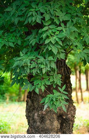 Green Leaves With Sunlight And Shadow On Old Tree, Summer Spring Foliage Background, Selective Focus