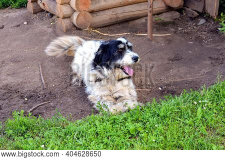 A Dog Near The Booth. A Service Dog Guards The House. A Yard White Shaggy Dog Is Located Near The Wo