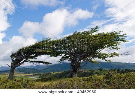 Wind-bent Trees In Fireland (tierra Del Fuego)