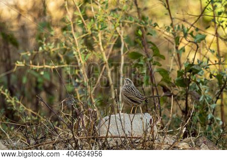 Upland Pipit Or Anthus Sylvanus Perched On Rock In Natural Green Background At Foothills Of Himalaya