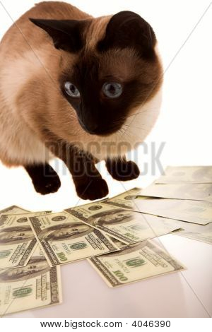 Siamese with money on white isolated background poster