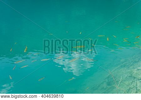 Shoal Of Fishes In Clean, Transparent Turquoise Coloured Lake With Visible Bottom, Plitvice Lakes Na