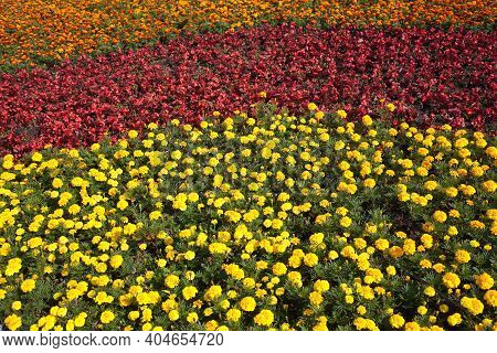 Flowers Carpet: Many Orange And Yellow Velvet Flowers In The Garden On Sunny Summer Day Close Up Vie