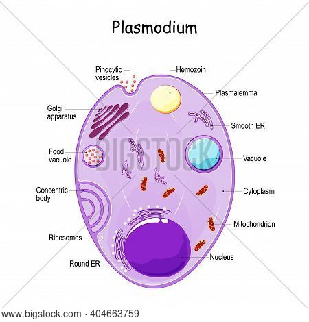 Plasmodium Anatomy. Structure Of Unicellular Parasite Of Vertebrates And Insects. Causative Agent Of