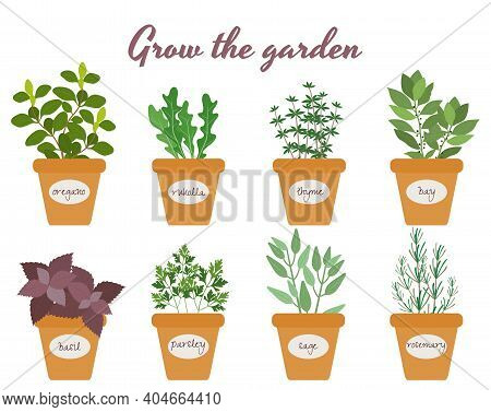 Set Of Vector Culinary Herbs In Pots With Labels With Fresh Oregano  Rocket  Thyme  Bay  Basil  Rose