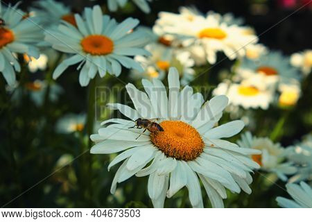 Bee On A Daisy. Yellow Bee On A Daisy. Bee Focusing On Daisy. Nature A Background. Bee Background.