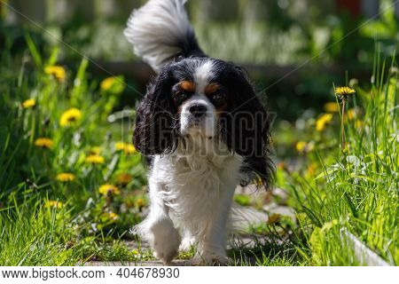 The Cavalier King Charles Spaniel Dog Runs Along The Path In The Garden Against The Background Of Gr