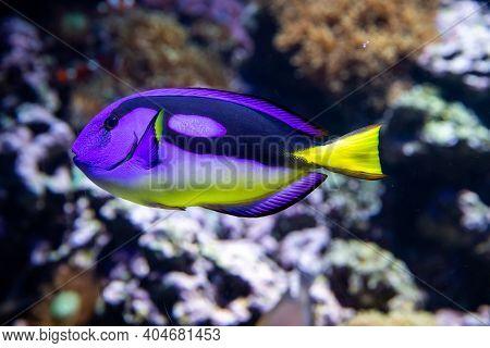 Paracanthurus Hepatus Indo-pacific Surgeonfish Known As Regal Tang, Palette Surgeonfish, Blue Tang,