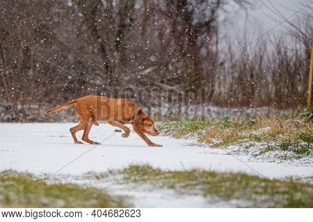 Hungarian Shorthaired Vizsla Pointing Dog In The Snowfall
