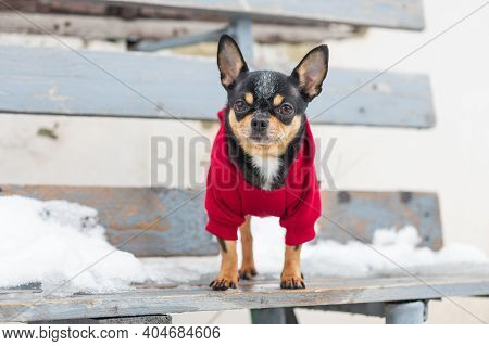 Small Dog Jacket Cold In The Winter. Chihuahua In Winter Clothes On A Background Of Snow. Chihuahua.