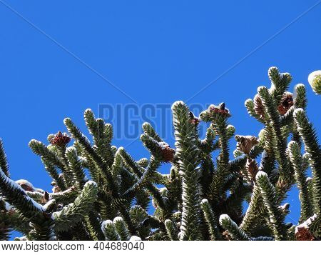 Green Young Araucaria Branches Under White Snow In Winter, View Upwards With Blue Sky