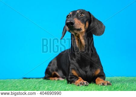 Obedient Dachshund Dog Lies On Artificial Turf And Carefully Watching Something While Executing Comm