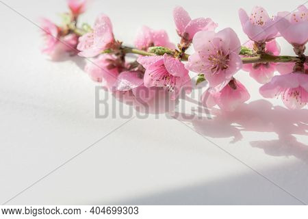 Peach Blossom On A White Table Background In Bright Sunlight.macrophotography Of Spring Flowers In T