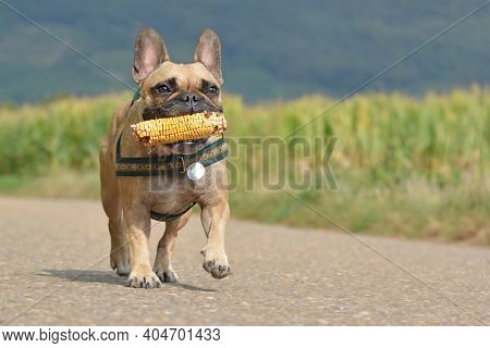 Happy French Bulldog Dog Playing Fetch With Corn Vegetable