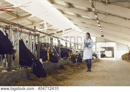 Woman Farmer Or Veterinarian In Uniform Walking Along Stalls With Cows And Making Notes